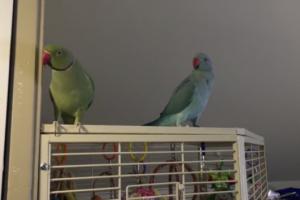 parakeets-conversation