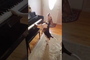 Buddy-Mercury-Sings-Funny-and-cute-beagle-who-plays-piano