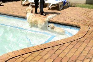 GOLDEN-RETRIEVER-PUPPY-LEXI-This-is-how-you-swim