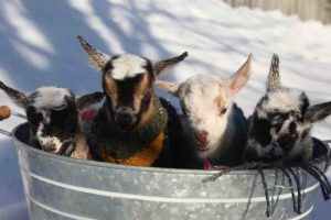 One-day-old-Baby-Goat-Kids-Jumping-in-Jumpers