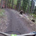 Bear Charging at Mountain Bikers