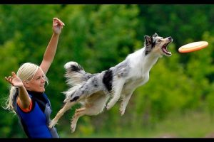 Best-Trained-Disciplined-Border-Collie-Dogs