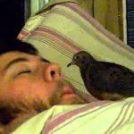 Bird Eats Out of Sleeping Man's Nose