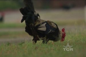 Chicken-Sanctuary-Texas-Country-Reporter