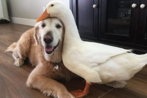 Dog-And-Duck-Are-Inseparable-Best-Friends-CUTE-AS-FLUFF