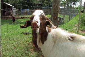 Goat-Makes-a-Funny-Face