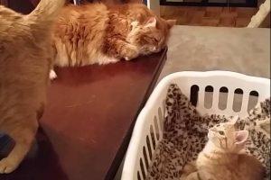 Hypnotized-kitty