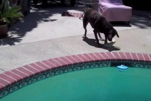Smart-Dog-Fetches-Ball-from-Pool