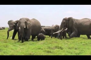 Touching-moment-as-Elephant-Herd-Rushes-To-Greet-Newest-Baby