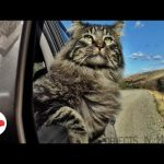 Adventure Cat Has The Most Majestic Life  | The Dodo