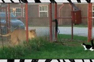 Brave-housecat-challenges-LION