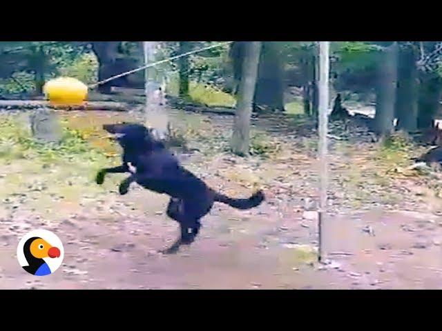 dog plays tetherball the dodo 1funny com