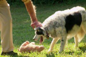 Dog-Understands-1022-Words-Super-Smart-Animals-BBC-Earth