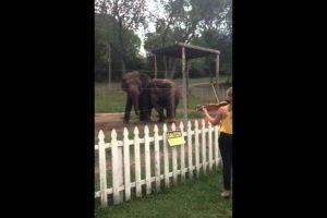 Elephants-Dancing-to-Violin-Adorable