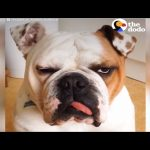 Grumpy Bulldog ADORES Cat Brother & Only Walks With Him