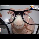 Naked Guinea Pig Loves Modeling for Mom | The Dodo