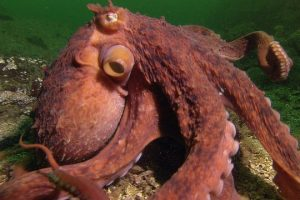 Octopus-Steals-Crab-From-Fisherman-Super-Smart-Animals-BBC-Earth