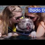 Pit Bull Shot by Landlord Loves Swimming Now: Best Animal Videos
