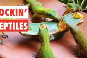 Rockin-Reptiles-Funny-Reptile-Video-Compilation-2017