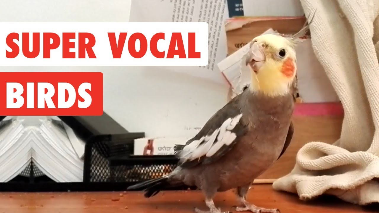 super vocal birds funny bird video compilation 2017 1funny