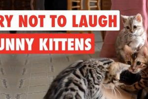 Try-Not-To-Laugh-Funny-Kittens-Video-Compilation-2017