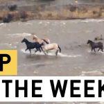Brave Horses Dangerous Flooded River Crossing