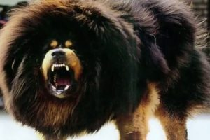 BIGGEST-Guard-Dogs-in-the-World