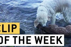 Brave-Dog-Rescues-Baby-Deer-From-Drowning-Good-Boy-Storm