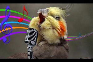 Cockatiels-Are-The-BEST-Singers-FUNNY-and-CUTE-Cockatiel-Whistling-Best-COVERS-Compilation-2017