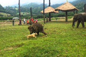 Cute-Baby-Elephant-Gets-Frustrated-After-Chasing-A-Dog