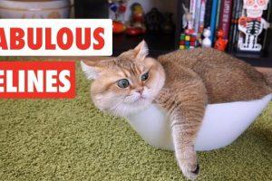 Fabulous-Felines-Funny-Cat-Video-Compilation-2017