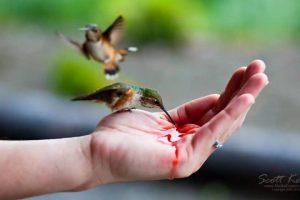 Hand-feeding-Hummingbirds