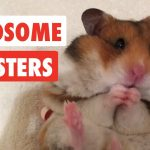 Handsome Hamsters | Funny Hamster Video Compilation 2017