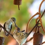Hummingbirds – Building Nest, Laying Eggs to Babies Fledgling