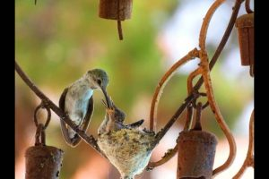Hummingbird-Nest-Documentary.-HD.-Meet-Mama-and-Papa-Lil-Lucy-and-Baby-Ethel