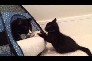Miracle-Kitten-Cassidy