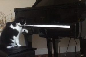 Piano-Cat-Loves-Player-Piano-Viral-Videos