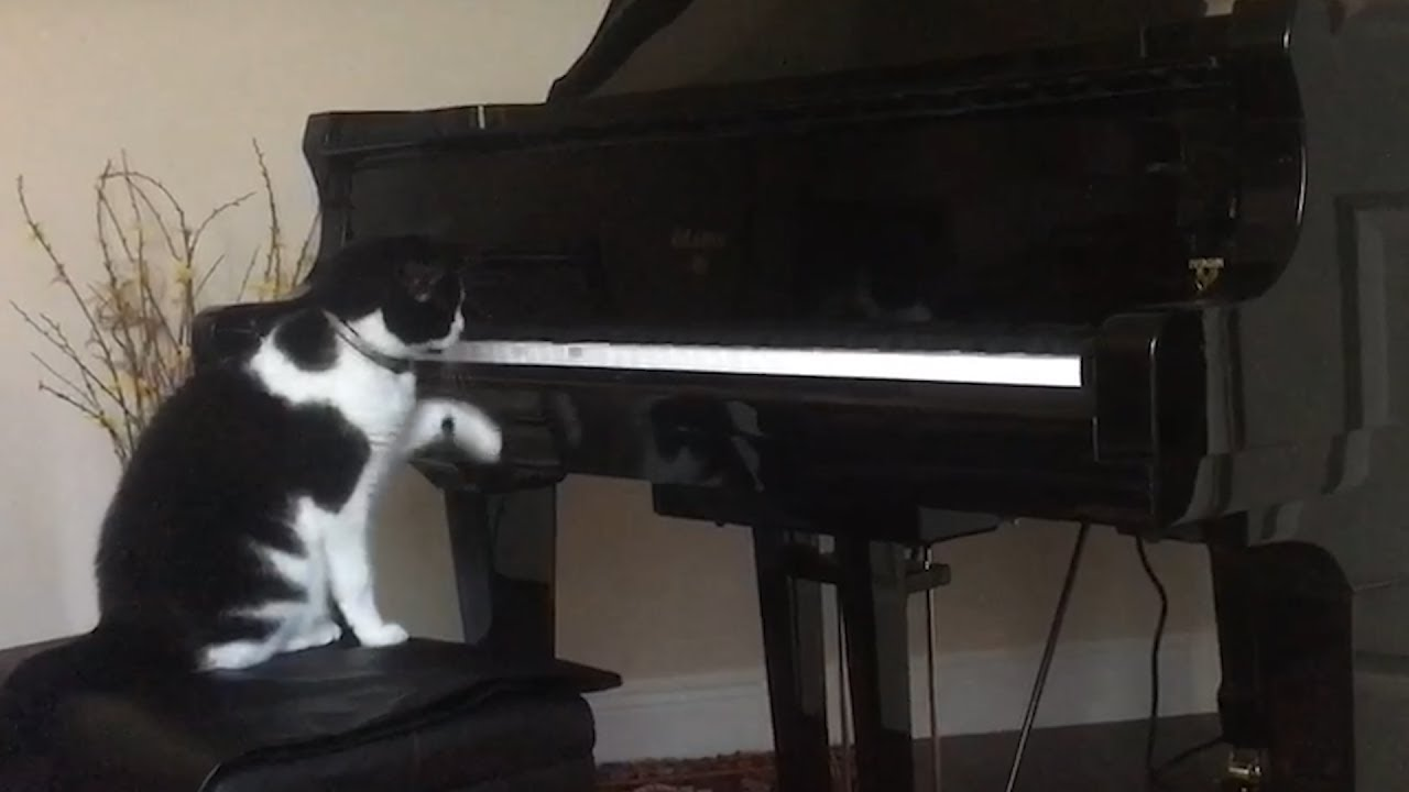 Piano Cat Loves Player Piano Viral Videos 1funny Com