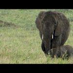Baby Elephant Takes Shelter Under Mom