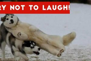 Try-Not-To-Laugh-At-This-Funny-Dog-Video-Compilation-Funny-Pet-Videos