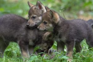 Wildlife-Park-Celebrates-First-Wolf-Cubs-Birth-In-47-Years-ZooBorns