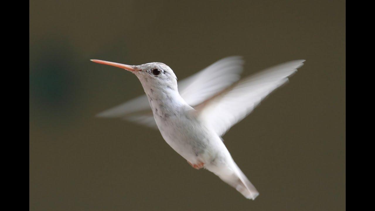 Hummingbirds Ultra Slow Motion – Amazing Facts