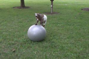 Baby-Goat-Loves-Ball