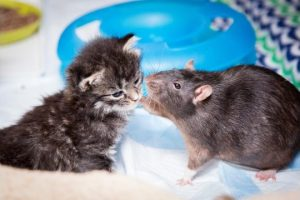 Brooklyn-Cat-Cafe-Employs-Rats-To-Care-For-Kittens-CUTE-AS-FLUFF