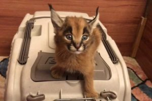 Caracal-Screams-for-Food
