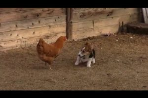 Corgi-vs.-Chicken-Fight