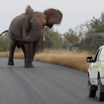Elephant Shows Wild Dogs & the Police Who's Boss