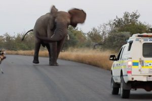 Elephant-Shows-Wild-Dogs-the-Police-Whos-Boss