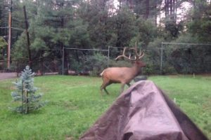 Elk-and-Dog-playing-in-the-yard-FUNNY