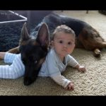 German Shepherd Protects Babies and Kids